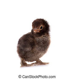 Black chick on white background