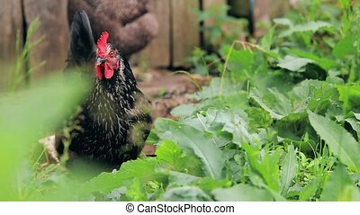 Black chicken with a red scallop walking on the grass HD