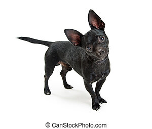 Black Chihuahua Dog Standing on White