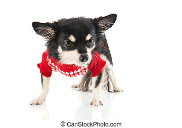 Black Chihuahua with red sweater
