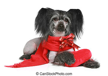 Black Chinese Crested Dog in red scarf