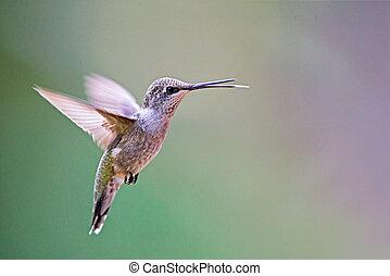 black-chinned, colibrí