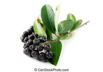 Black Chokeberry (Aronia) - Black Aronia berries on a white ...