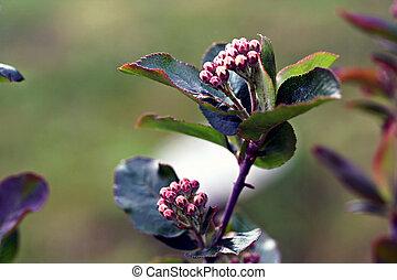 Black chokeberry, Aronia melanocarpa (Photinia melanocarpa)