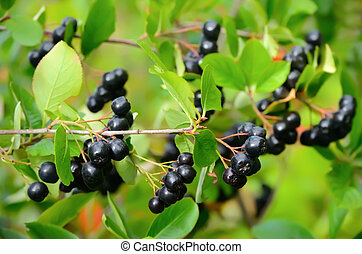 Black chokeberry in the garden - Branches of black ...