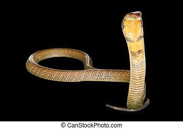 black Cobra Snake - King Cobra Snake Ophiophagus hannah,...