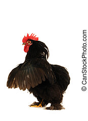 black cock on a white background