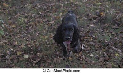 black cocker spaniel is running in the garden. looking at...