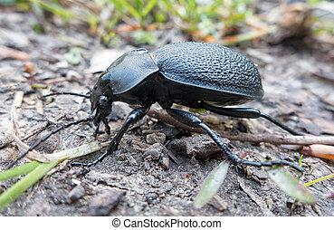 Black coloured ground beetle - Carabus variolosus