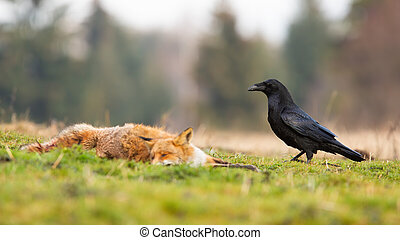 Black common raven approaching dead red fox laying on the ground