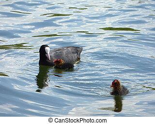 Black coot on lake