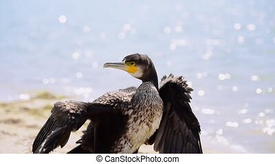 Black cormorant on the seashore spread its wings, summer day