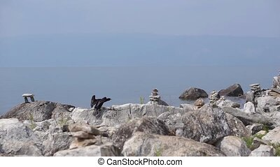 Black Cormorant sitting on stone and spreading wings against...