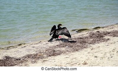 black cormorant stands on the sandy shore of the Black Sea
