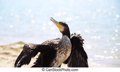 black cormorant stands on the sandy shore of the Black Sea,...