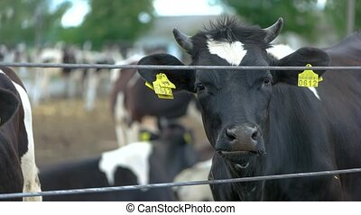 Black cow is chewing. Livestock near a fence. Cattle at the...
