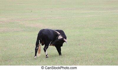 Black cow licking itself.