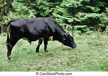 Black cow on a meadow in forest
