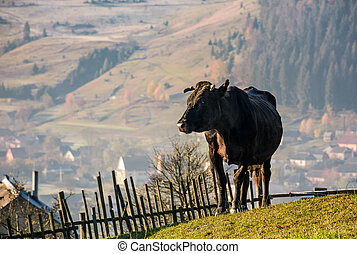 black cow on grassy hillside above the village. beautiful...