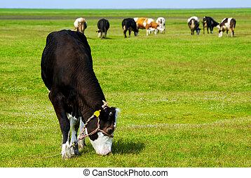 black cow on pasture
