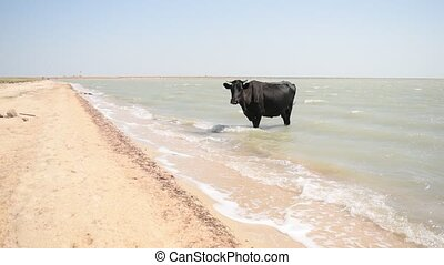 Black cow standing in water on the beach on a hot sunny day