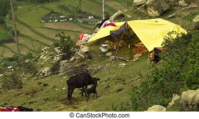 Black cow with calf beside tent on mountain - High angle...