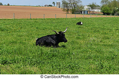 Black Cow with Horns Resting in a Field