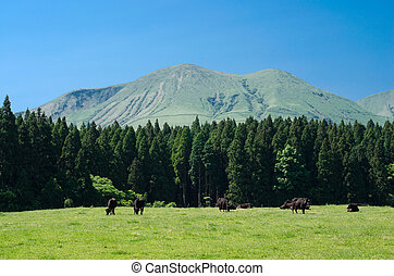 Black cows in a pasture