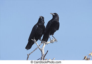 Black crow, Corvus capensis, two birds on branch, South africa