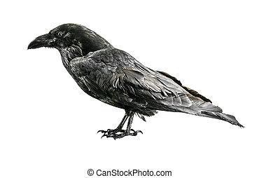 Black crow isolated on white background.