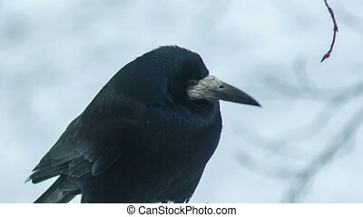 Black Crow Looks Around
