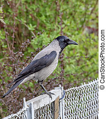 Black crow sitting on a metal fence on a background of bushes
