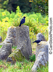 Black crow sitting on a stone tomb of the