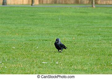Black crow walking on green grass