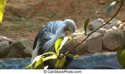 Black Crowned Crane Picking At Neck - Handheld, medium close...