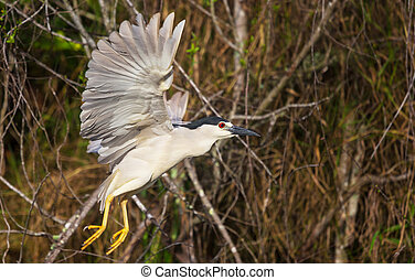 Black crowned heron - Black-crowned night heron in flight