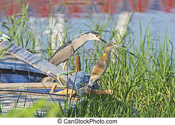 Black-crowned night heron and squacco heron perched on boat