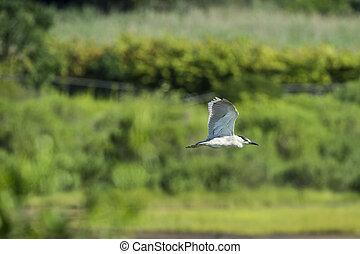 Black-crowned Night-Heron gliding over marsh