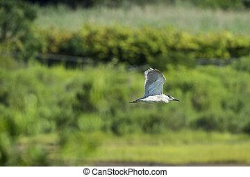 Black-crowned Night-Heron gliding over marsh