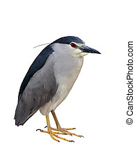 Night-Heron - Black-crowned Night-Heron isolated on white ...