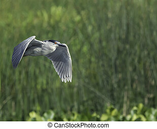 Black-crowned Night-Heron marsh