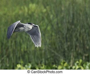 Black-crowned Night-Heron marsh