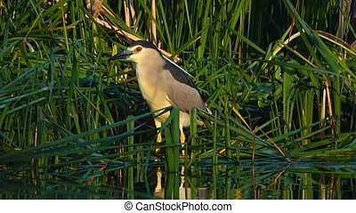 Black-crowned Night-Heron (Nycticorax nycticorax) on the...