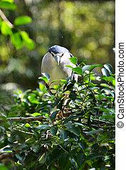 Black - crowned night heron