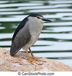 Night-Heron