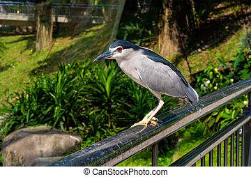 Black-crowned night heron portrait in city park.