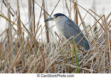 Black-crowned Night Heron Stalking its Prey - Florida