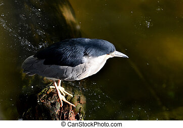 Black - crowned night heron