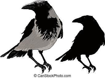 Black Crows - Seated black raven image detail and silhouette...