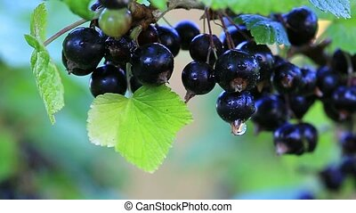 Black currant berries on a branch. - Branch of ripe...